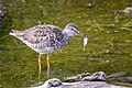 Greater Yellowlegs (breeding plumage) (42625242294).jpg