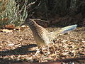 Greater roadrunner 01.jpg