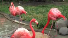 File:Greaterflamingo-uenozoo2008.ogv