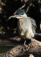 Green-backed heron (Striated heron), Butorides striata, at Walter Sisulu National Botanical Garden, Gauteng, South Africa (34686936954).jpg