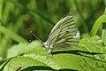 Green-veined white butterfly (Pieris napi).jpg