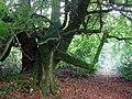 Green giant, Coed Kilkiffeth - geograph.org.uk - 1550602.jpg