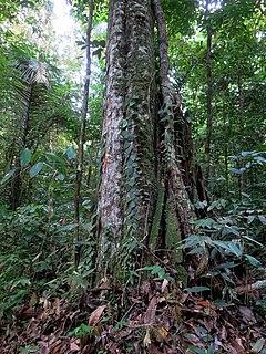 <i>Chlorocardium rodiei</i> Species of tree