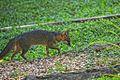 Grey Fox (5295132327).jpg
