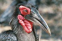 Ground hornbill closeup