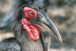 Ground hornbill closeup.jpg