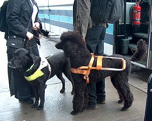 Two Guide dogs in Norway