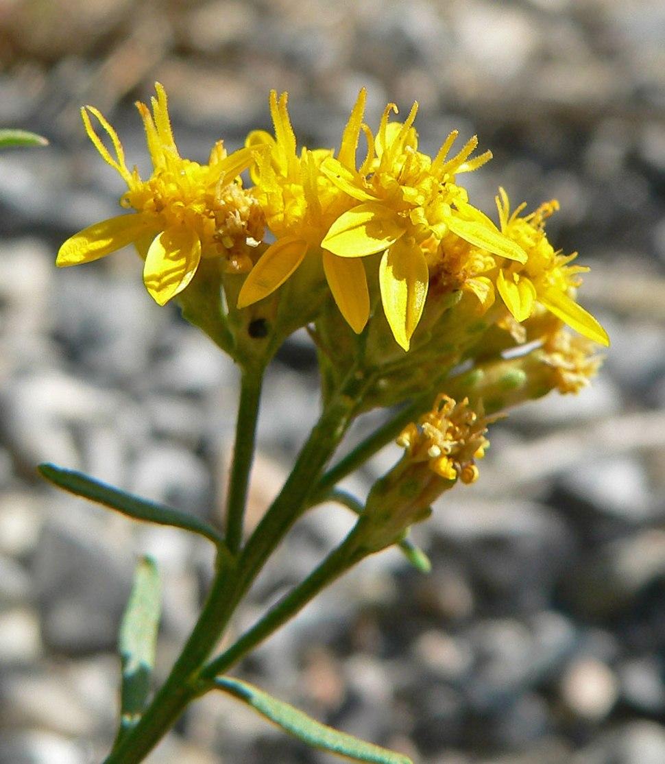 Gutierrezia sarothrae 6