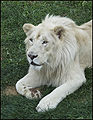 Guylaine2007 - Lion Blanc (by).jpg