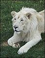 Guylaine2007 - Lion Blanc (by).jpg