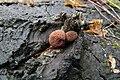 Gymnopilus luteofolius 276298.jpg