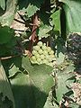 Hárslevelu grapes.jpg