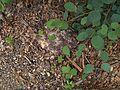 H20140522-2441—Fuligo septica—RPBG (14083703808).jpg