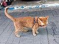 HK 觀塘 Kwun Tong 偉業街 Wai Yip Street brown cat evening June 2019 SSG 03.jpg