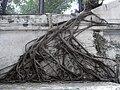 HK Sai Ying Pun 西區社區中心 Western District Community Centre tree root.JPG