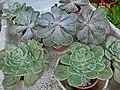 HK Sinocrassula yunnanensis Green plant 觀音草 Peristrophe baphica 石蓮花 風車草 觀音石蓮花 石膽草 蓮座草 東美人 玉蓮 Aug-2013.JPG