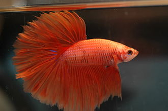 Siamese fighting fish - Selectively bred halfmoon male displaying his flared opercula