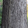 Hackberry bark (Celtis occidentalis).jpg