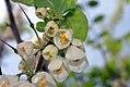 Halesia tetraptera 9zz.jpg