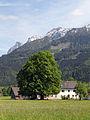Hall bei Admont - Naturdenkmal 1403 - Sommerlinde (Tilia platyphyllos).jpg