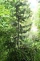 Halocarpus kirkii kz16.jpg