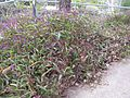 Hardenbergia violacea plant12 ANBG ST - Flickr - Macleay Grass Man.jpg