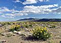 Hare desert-blooms.jpg