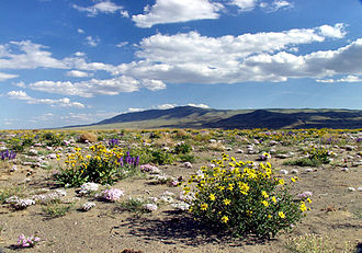 Hanford Reach National Monument - Wildflowers at HRNM