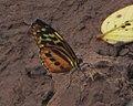Harmonia Tiger-wing, Tambopata.jpg
