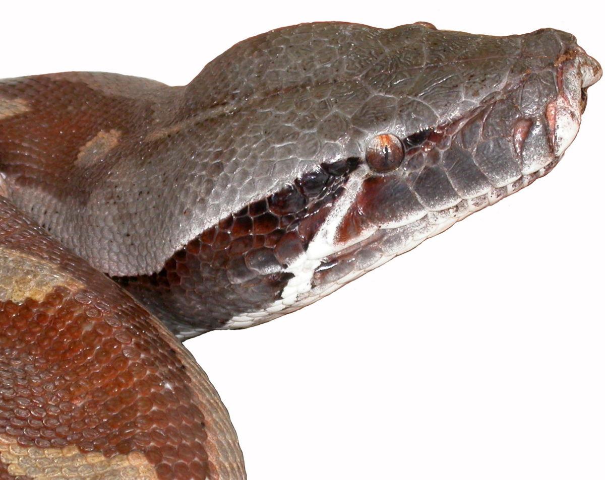 python brongersmai  u2014 wikip u00e9dia