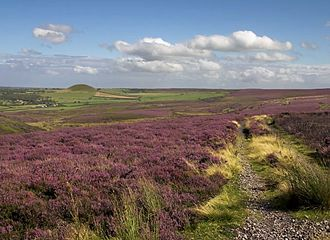 Moorland - Heather moorland on the North York Moors mainly consisting of Calluna vulgaris
