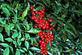 Heavenly or Sacred Bamboo (Nandina domestica) (390004390).jpg