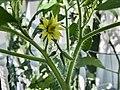 Heirloom Tomato Grown from Seed.jpg