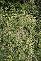 Helichrysum lanceolatum kz04.jpg