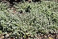 Helichrysym petiolare 02.jpg