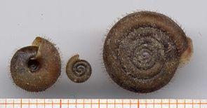 Riemenschnecke (Helicodonta obvoluta)