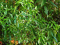 Heliotropium messerschmidiodes.jpg