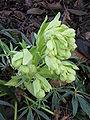 Helleborus foetidus flower.jpg