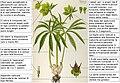 Helleborus viridis Thome DESC.jpeg