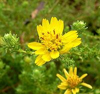 Hemizonia minthornii 4.jpg