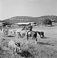 Herder te paard met kudde runderen in een heuvelachtig en boomrijk landschap me…, Bestanddeelnr 255-4629.jpg