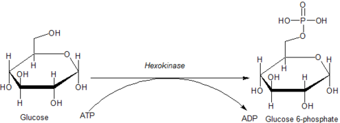 Action of Hexokinase on Glucose