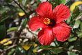 Hibiscus 13.JPG