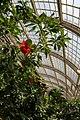 Hibiscus Schmetterlinghaus Burggarten Wien 33.jpg
