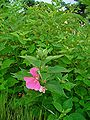 Hibiscus moscheutos 001.JPG