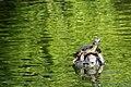 Hidden amongst the greenery, Giant Tortoises.jpg