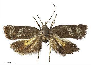 <i>Hierodoris</i> genus of insects