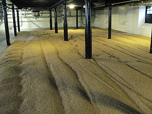 Malt - Barley is spread out on the floor of a malthouse during a traditional malting process