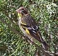 Himalayan Greenfinch, Chhaya Cottage, Shimla, Himachal Pradesh.jpg