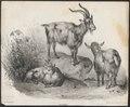 Hircus aegagrus - 1700-1880 - Print - Iconographia Zoologica - Special Collections University of Amsterdam - UBA01 IZ21300225.tif